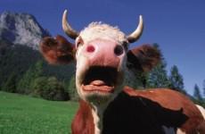 Krava-1